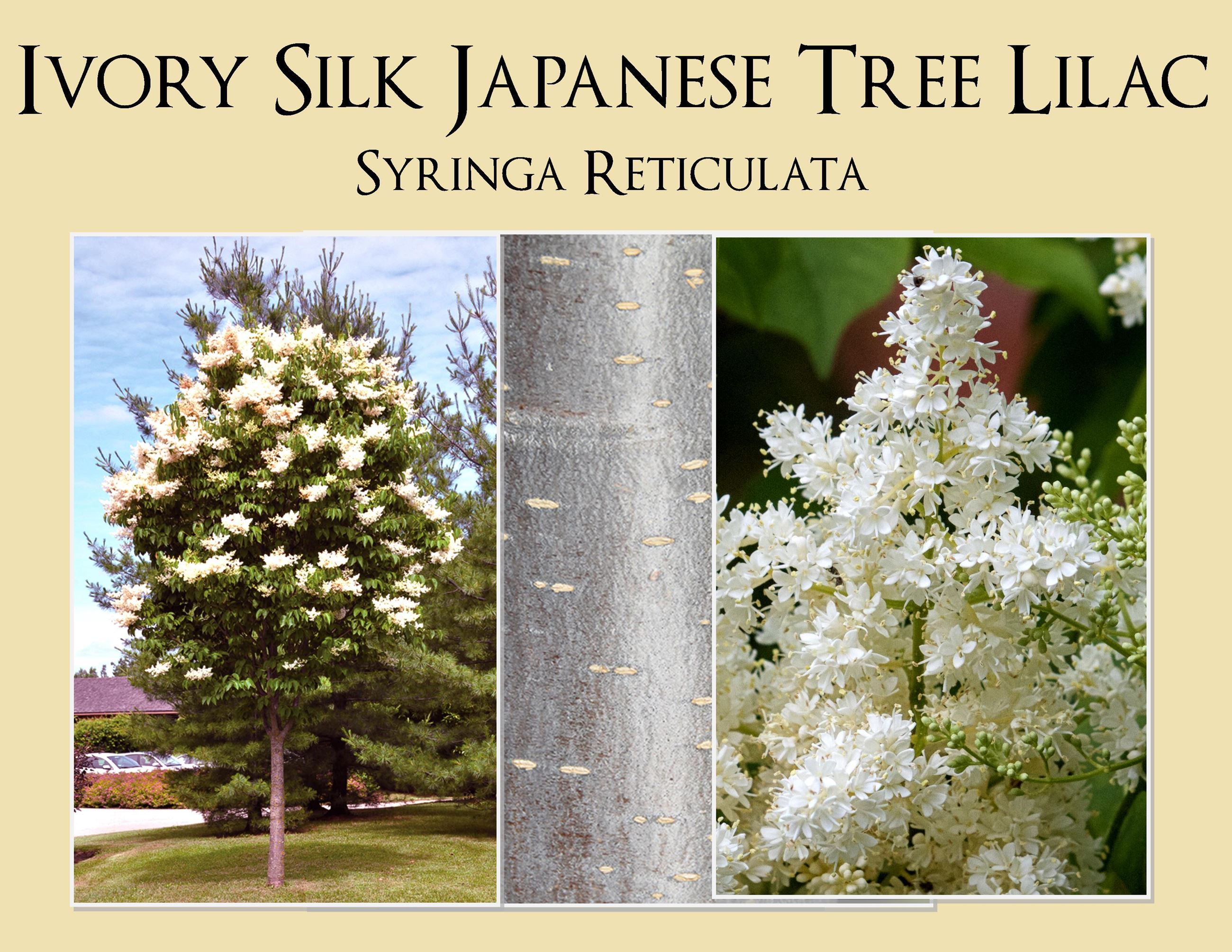 Ivory Silk Japanese Tree Lilac