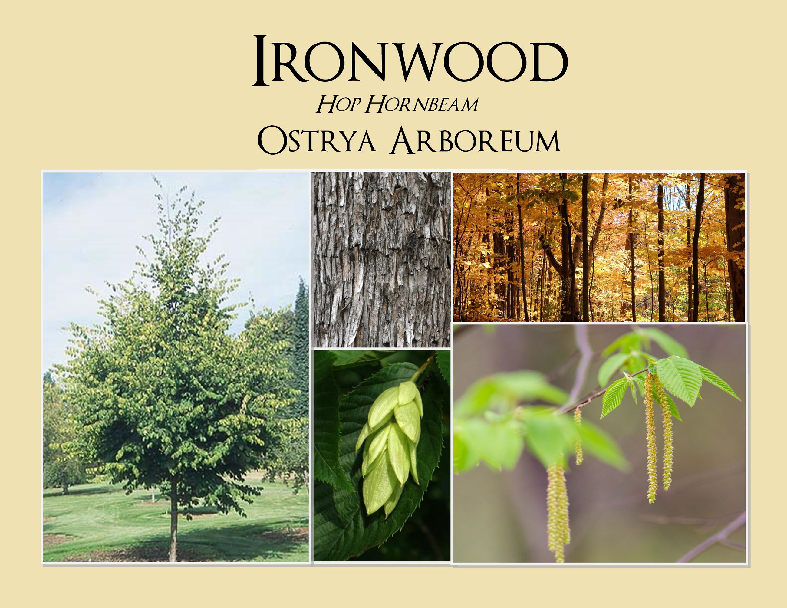Ironwood Hop Hornbeam